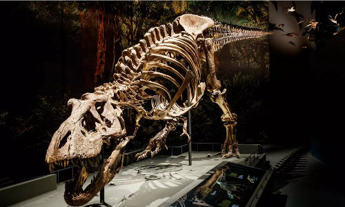 The skeleton of an adult female T-rex.